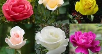 Những loài hoa đẹp ý nghĩa nên tặng bạn gái vào ngày Valentine Trắng 14/3-1